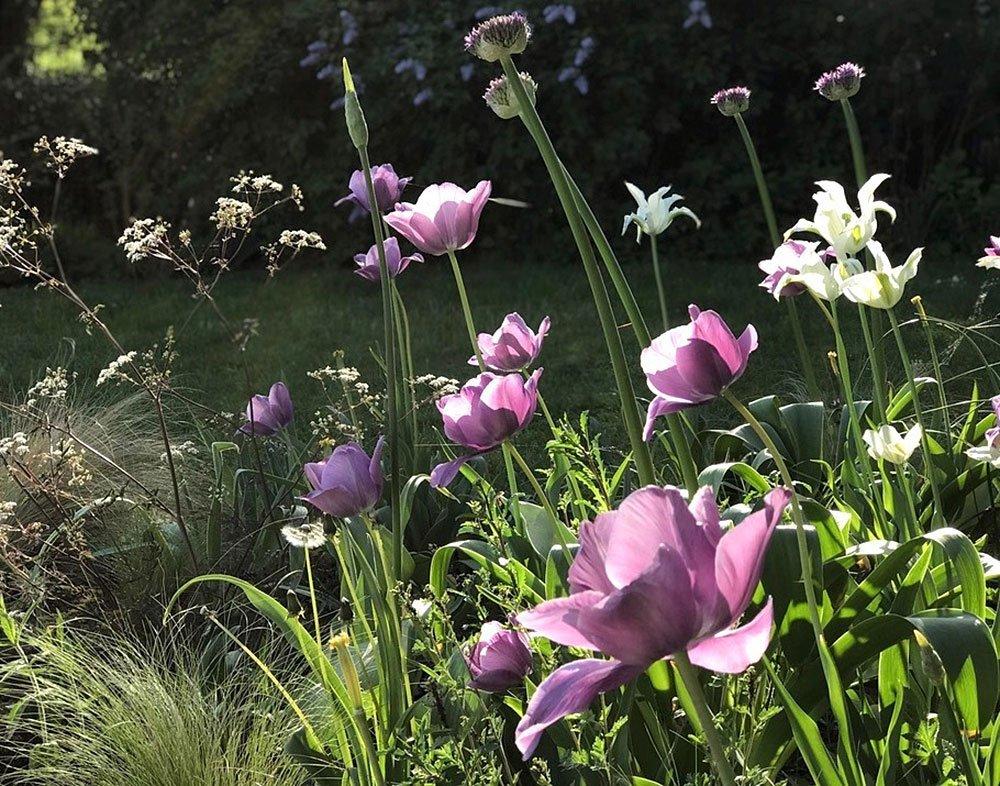 Journal Beitrag Tulpen pflanzen und pflegen 2