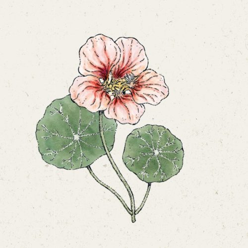 kapuzinerkresse-ladybird-rose