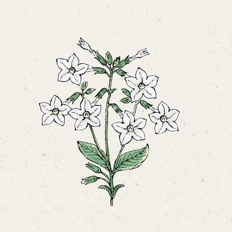 Ziertabak-grandiflora