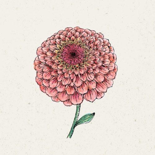 Zinnie_Salmon-Rose